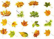 秋天黄色树叶标本素材图片