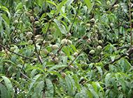 硕果累累的土桃子树图片