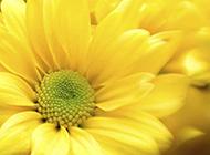 微距摄影菊花图片欣赏