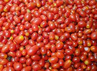 新鲜的野生小番茄图片