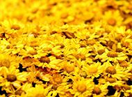 散落满地的金色菊花背景图