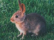 草地上萌萌的小兔子图片