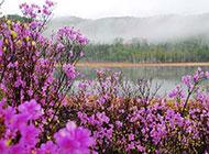 河边的紫色野花摄影图片