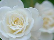 纯洁高贵的白玫瑰图片欣赏