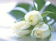 唯美盘子上的白玫瑰图片赏析