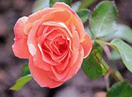 漂亮的淡粉玫瑰图片