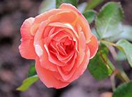 淡粉玫瑰花高清特写图片