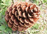 营养价值高的松树子图片