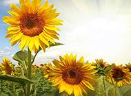 超唯美的向日葵高清壁纸