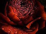 带水滴的一朵红玫瑰特写图片