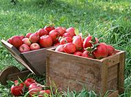 种植园新采摘的苹果图片欣赏