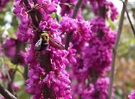可爱辛勤的蜜蜂采花图片