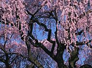漂亮美丽的樱花树高清图片