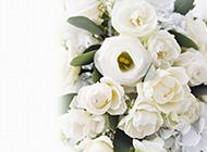 纯洁的白玫瑰高清图片素材