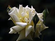 一束唯美的白玫瑰图片