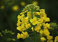 春天的油菜花特写图片