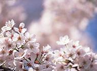 纯白的日本樱花高清图