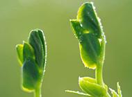 绿色植物叶芽特写图片