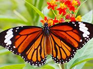 花朵上的蝴蝶壁纸图片