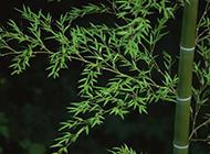 清脆的竹子图片素材