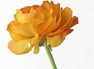一支黄玫瑰白色背景图片
