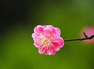 粉色的桃花唯美背景图片