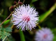 含羞草的花超清特写图片