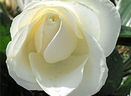 高尚纯洁的白玫瑰高清图片