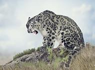 国家保护动物白虎图片