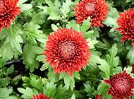 美丽的酒红色菊花图片