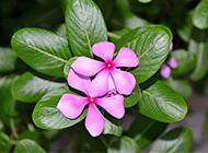 唯美紫色长春花图片素材