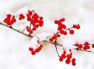 雪中的红果唯美自然风光壁纸
