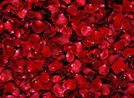 红色的玫瑰花瓣图片素材