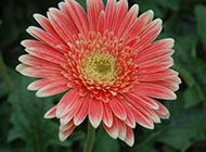 野外绽放的菊花图片欣赏