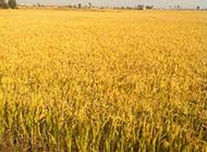 金色的稻田实拍图片