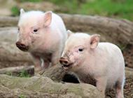 两只萌萌的小猪图片