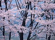 美丽的樱花摄影图片欣赏