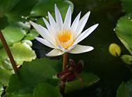 池塘里的白色睡莲图片