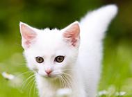 绿草地休闲玩耍的纯白色猫咪图片