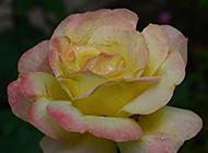 清新高雅的黄玫瑰图片素材