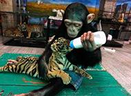 母爱泛滥的黑猩猩搞笑图片