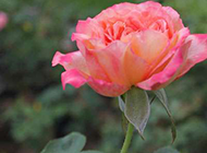 唯美的粉玫瑰特写图片