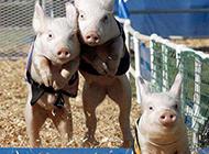 动物搞笑图片之小猪赛跑