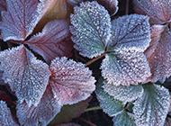 霜打的紫菜叶摄影图片