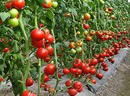 种植园里的西红柿高清图片