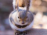 肉嘟嘟竖耳朵的小松鼠特写图片