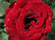 雨后的新鲜红玫瑰花图片素材