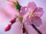 枝头芬芳烂漫的粉色樱花图片