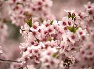 唯美的粉色樱花图片