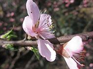 春天的桃花实拍图片